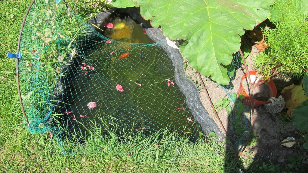 Allotment fish (soon to be frogs!)
